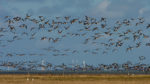 DE, DE-SH, NF, SH, animal, animals, appelland, bird, birds, brent geese, brent goose, clouds, deutschland, foreshore, frühling, gans, geese, germany, goose, groede2007, gröde, gänse, hallig, hallig gröde, halligen, himmel, holm, jahreszeit, jahreszeiten, landscape, landschaft, marshes, meer, nordfriesland, nordsee, north frisia, north sea, reise, ringelgans, ringelgänse, salt marshes, salzwiesen, schleswig-holstein, sea, seascape, season, seasons, see, sky, spring, tier, tiere, travel, vogel, vögel, wadden, wasser, water, watt, wolken, world