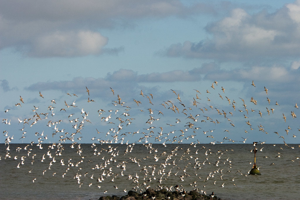 DE, DE-SH, NF, SH, animal, animals, bird, birds, clouds, deutschland, foreshore, frühling, germany, groede2007, gröde, hallig, hallig gröde, halligen, himmel, holm, jahreszeit, jahreszeiten, knutt, meer, nordfriesland, nordsee, north frisia, north sea, red knot, reise, schleswig-holstein, sea, seascape, season, seasons, see, sky, spring, tier, tiere, travel, vogel, vögel, wadden, wasser, water, watt, wolken, world