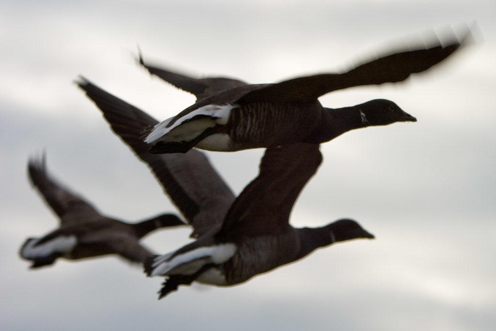 DE, DE-SH, NF, SH, animal, animals, bird, birds, brent geese, brent goose, deutschland, foreshore, frühling, gans, geese, germany, goose, groede2007, gröde, gänse, hallig, hallig gröde, halligen, himmel, holm, im flug, in-flight, jahreszeit, jahreszeiten, meer, nordfriesland, nordsee, north frisia, north sea, reise, ringelgans, ringelgänse, schleswig-holstein, sea, seascape, season, seasons, see, sky, spring, tier, tiere, travel, vogel, vögel, wadden, wasser, water, watt, world