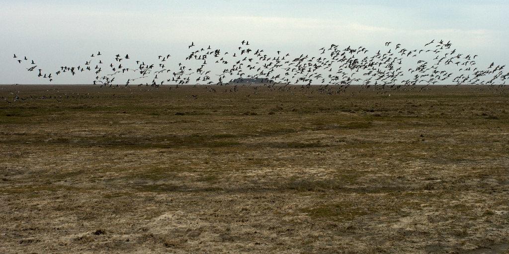DE, DE-SH, NF, SH, animal, animals, bird, birds, brent geese, brent goose, deutschland, foreshore, frühling, gans, geese, germany, goose, groede2007, gröde, gänse, hallig, hallig gröde, halligen, holm, jahreszeit, jahreszeiten, knudswarft, marshes, meer, nordfriesland, nordsee, north frisia, north sea, reise, ringelgans, ringelgänse, salt marshes, salzwiesen, schleswig-holstein, sea, seascape, season, seasons, see, spring, tier, tiere, travel, vogel, vögel, wadden, wasser, water, watt, world