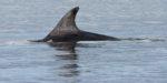 GB, SCO, SCT, UK, animal, animals, beobachten, beobachtung, black isle, chanonry point, delfin, delfine, delphin, delphine, dolphin, dolphins, favs-sb, fortrose, great britain, highland, jahreszeit, jahreszeiten, meer, moray firth, reise, ross and cromarty, schottland, scotland, scotland2007, sea, seascape, season, seasons, see, sommer, summer, tier, tiere, travel, united kingdom, wasser, watching, water, week1-brodie, world