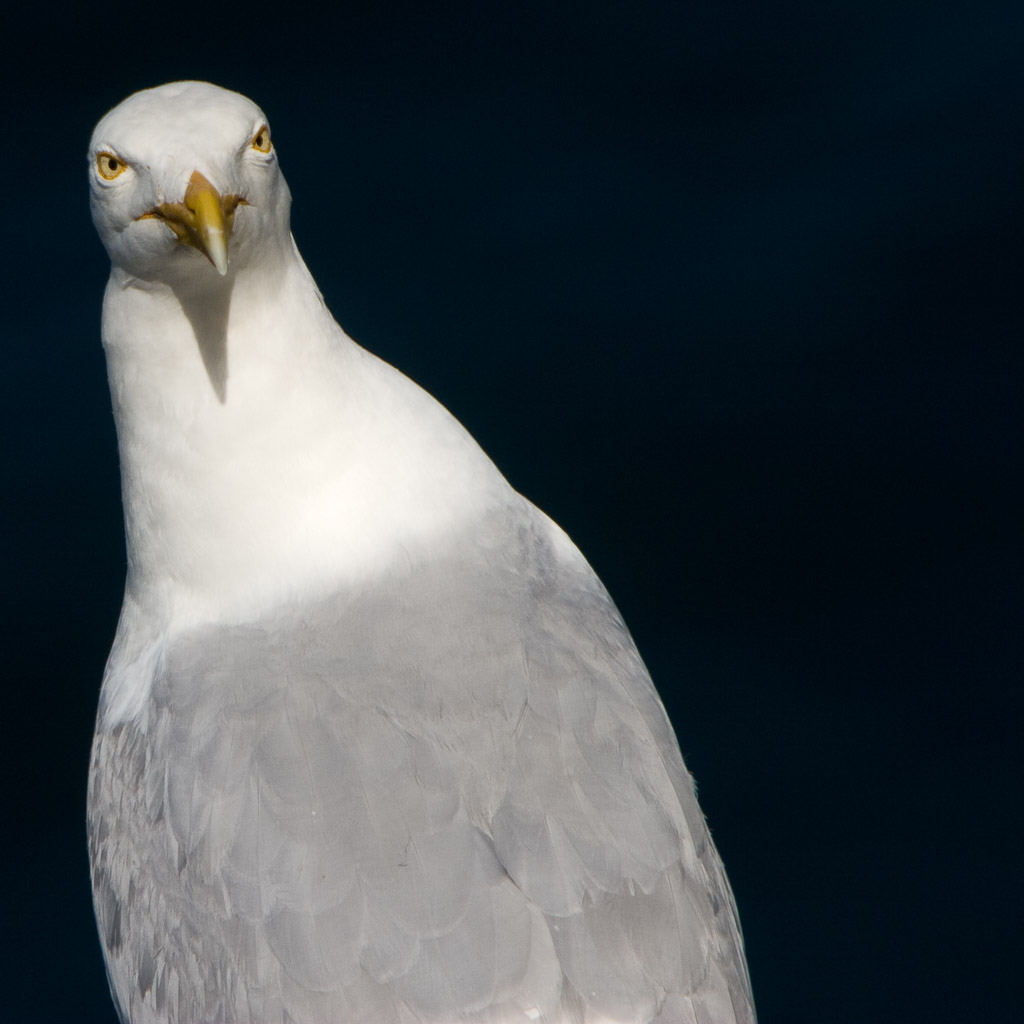 GB, SCO, SCT, UK, animal, animals, banffshire, bird, birds, coast, favs-sb, grampian, great britain, gull, gulls, jahreszeit, jahreszeiten, küste, meer, möwe, möwen, natur, nature, naturschutz, reise, reserve, rspb, sanctuary, schottland, schutzgebiet, scotland, scotland2007, sea, seascape, season, seasons, see, shore, sommer, summer, tier, tiere, travel, troup head, ufer, united kingdom, vogel, vögel, wasser, water, week3-leithhall, world