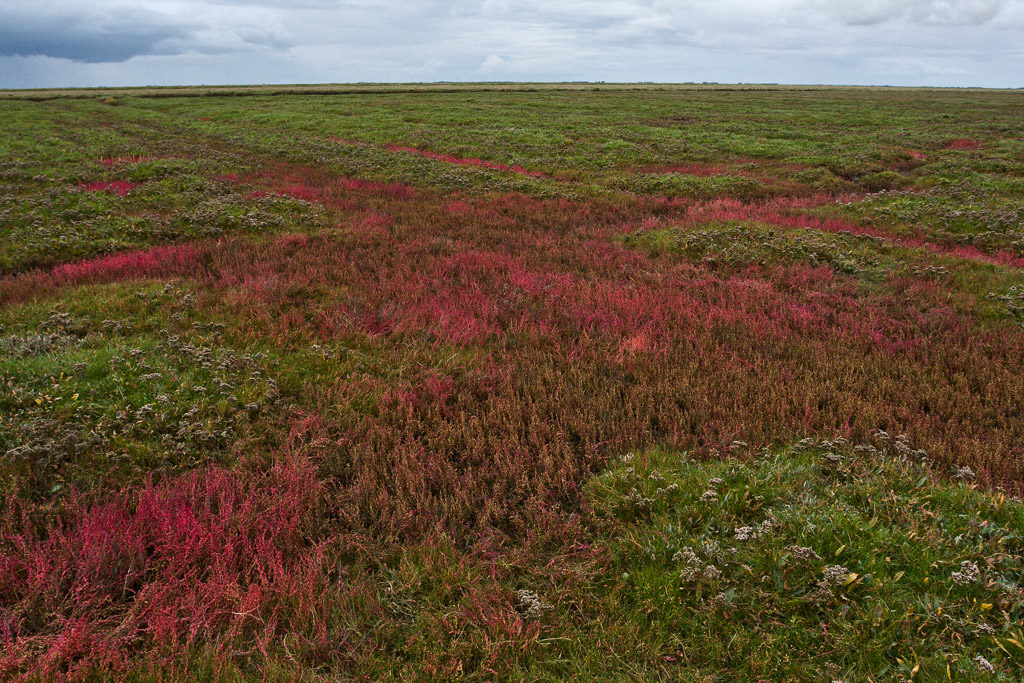 DE, DE-SH, NF, SH, color, colors, deutschland, farbe, farben, germany, glasswort, green, gröde, gröde2008, grün, hallig, hallig gröde, halligen, holm, marshes, nordfriesland, north frisia, pflanzen, plants, queller, red, reise, rot, salt marshes, salzwiesen, schleswig-holstein, travel, world
