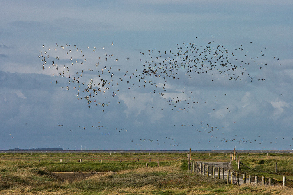 DE, DE-SH, NF, SH, animal, animals, appelland, bird, birds, deutschland, fence, germany, gröde, gröde2008, hallig, hallig gröde, halligen, himmel, holm, nordfriesland, north frisia, reise, schleswig-holstein, sky, tier, tiere, travel, vogel, vögel, world