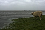 DE, DE-SH, NF, SH, animal, animals, deutschland, fence, flood, flood water, flooding, germany, gröde, gröde2008, hallig, hallig gröde, halligen, hochwasser, holm, knudswarft, landunter, meer, morgen, morning, nordfriesland, north frisia, rain, regen, reise, schaf, schafe, schleswig-holstein, sea, seascape, see, sheep, storm, sturm, tier, tiere, travel, wasser, water, world, überflutung