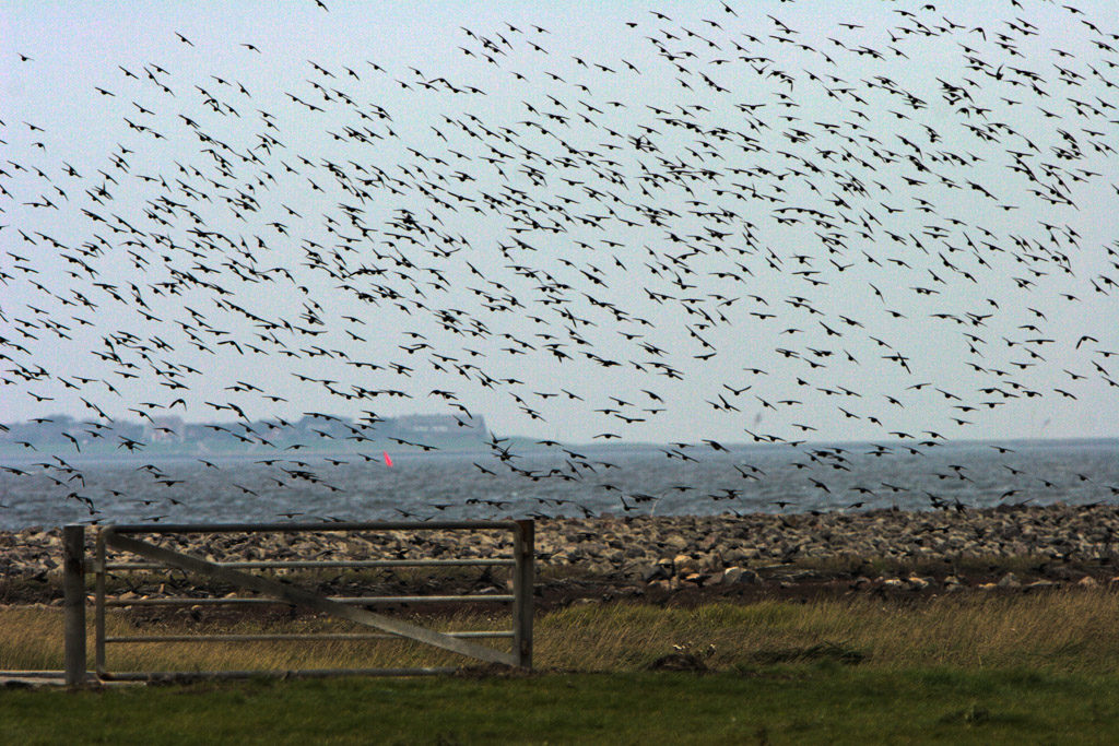 DE, DE-SH, NF, SH, animal, animals, bird, birds, deutschland, germany, gröde, gröde2008, hallig, hallig gröde, halligen, holm, nordfriesland, north frisia, reise, schleswig-holstein, star, stare, starling, starlings, tier, tiere, travel, vogel, vögel, world