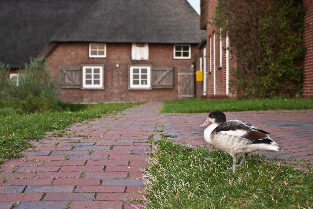 DE, DE-SH, NF, SH, animal, animals, bird, birds, brandente, buildings, deutschland, duck, ducks, ente, enten, gebäude, germany, groede2009, gröde, hallig, hallig gröde, halligen, haus, holm, house, houses, häuser, jahreszeit, jahreszeiten, knudswarft, nordfriesland, north frisia, paul, reise, schleswig-holstein, season, seasons, sheldrake, shelduck, sommer, summer, tier, tiere, travel, vogel, vögel, world