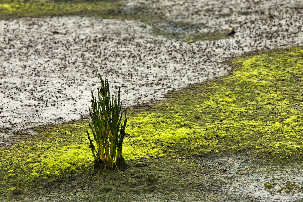 DE, DE-SH, NF, SH, color, colors, deutschland, farbe, farben, germany, glasswort, green, groede2009, gröde, grün, hallig, hallig gröde, halligen, holm, jahreszeit, jahreszeiten, meer, mudflat, nordfriesland, north frisia, pflanzen, plants, queller, reise, schleswig-holstein, sea, seascape, season, seasons, see, sommer, summer, tidal flat, travel, wasser, water, watt, world