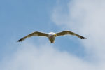 DE, DE-SH, NF, SH, animal, animals, bird, birds, blau, blue, clouds, color, colors, deutschland, farbe, farben, germany, groede2009, gröde, gull, gulls, hallig, hallig gröde, halligen, himmel, holm, jahreszeit, jahreszeiten, möwe, möwen, nordfriesland, north frisia, reise, schleswig-holstein, season, seasons, sky, sommer, summer, tier, tiere, travel, vogel, vögel, wolken, world