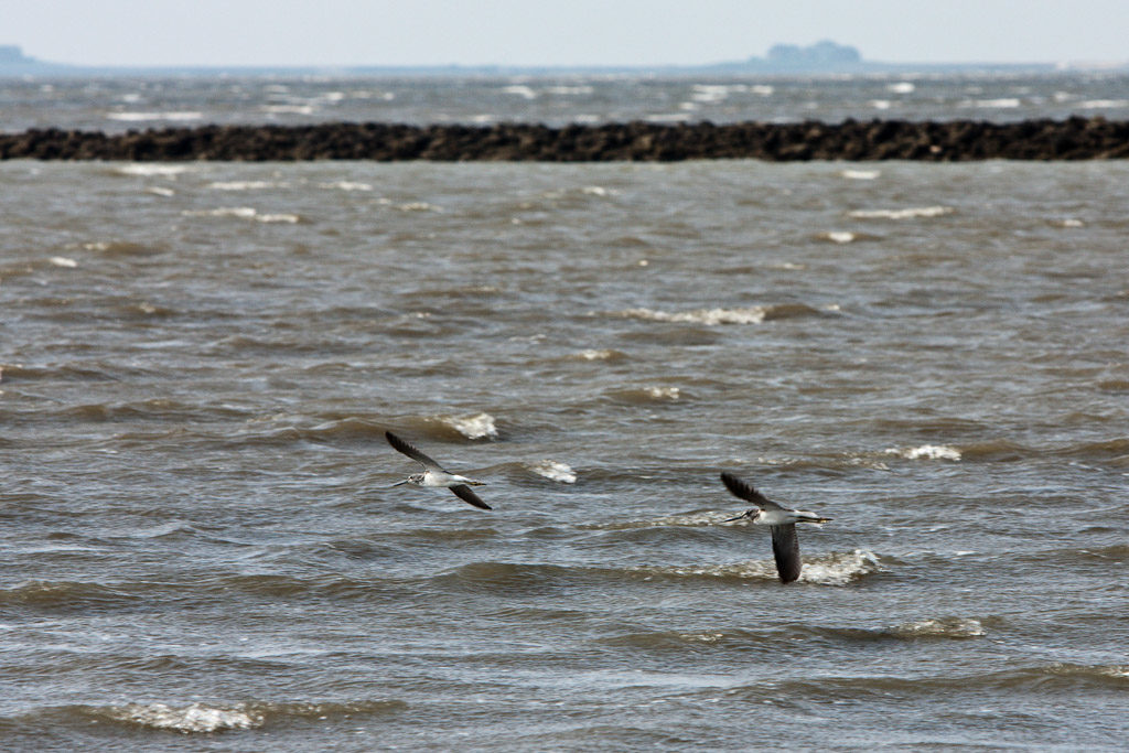 DE, DE-SH, NF, SH, animal, animals, bird, birds, breakwater, deutschland, germany, greenshank, groede2009, gröde, grünschenkel, hallig, hallig gröde, halligen, holm, jahreszeit, jahreszeiten, lahnung, maritime, meer, nordfriesland, north frisia, reise, schleswig-holstein, sea, seascape, season, seasons, see, sommer, summer, tier, tiere, travel, vogel, vögel, wasser, water, world