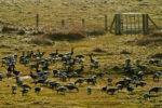 DE, DE-SH, NF, SH, animal, animals, bird, birds, brent geese, brent goose, deutschland, door, doors, fence, frühling, gans, gate, gates, geese, germany, goose, groede2010, gröde, gänse, hallig, hallig gröde, halligen, holm, jahreszeit, jahreszeiten, marshes, nordfriesland, north frisia, reise, ringelgans, ringelgänse, salt marshes, salzwiesen, schleswig-holstein, season, seasons, spring, tier, tiere, tor, tore, travel, tür, türen, vogel, vögel, world