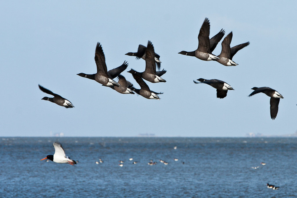 DE, DE-SH, NF, SH, animal, animals, austernfischer, bird, birds, brent geese, brent goose, deutschland, frühling, gans, geese, germany, goose, groede2010, gröde, gänse, hallig, hallig gröde, halligen, holm, jahreszeit, jahreszeiten, meer, nordfriesland, north frisia, oystercatcher, reise, ringelgans, ringelgänse, schleswig-holstein, sea, seascape, season, seasons, see, spring, tier, tiere, travel, vogel, vögel, wasser, water, world