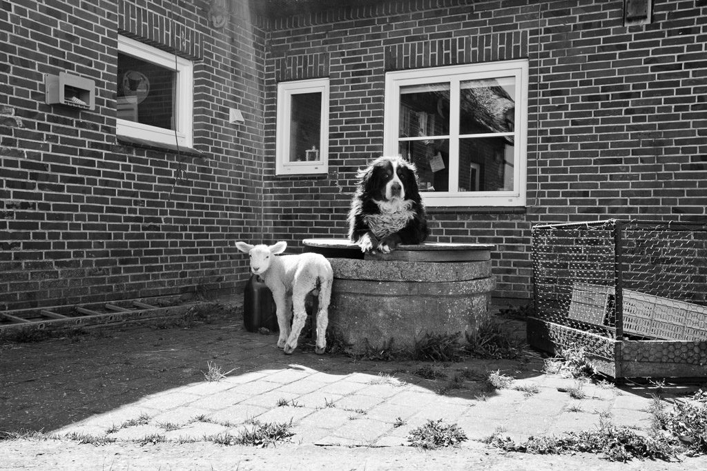 DE, DE-SH, NF, SH, animal, animals, b&w, backyard, black and white, buildings, bw, canidae, deutschland, dog, dogs, fotografie, gebäude, germany, groede2011, gröde, hallig, hallig gröde, halligen, holm, hund, hunde, knudswarft, lamb, lambs, lamm, lämmer, nordfriesland, north frisia, photography, reise, schaf, schafe, schleswig-holstein, schwarzweiß, sheep, sw, tier, tiere, travel, world