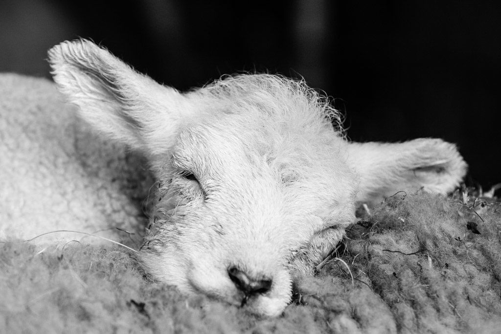 DE, DE-SH, NF, SH, animal, animals, b&w, black and white, bw, deutschland, fotografie, germany, groede2013, gröde, hallig, hallig gröde, halligen, holm, lamb, lambs, lamm, lämmer, nordfriesland, north frisia, photography, reise, schaf, schafe, schleswig-holstein, schwarzweiß, sheep, sw, tier, tiere, travel, world