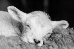 DE, DE-SH, NF, SH, animal, animals, b&w, black and white, bw, deutschland, fotografie, germany, groede2013, gröde, hallig, hallig gröde, halligen, holm, lamb, lambs, lamm, lämmer, nordfriesland, north frisia, photography, reise, schaf, schafe, schleswig-holstein, schwarzweiß, sheep, sw, tier, tiere, travel, world