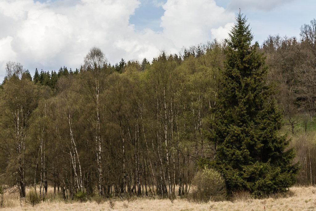 DE, baum, bäume, deutschland, eifel, germany, monschauer heckenland, nationalpark eifel, naturschutzgebiet Perlenbach-Fuhrtsbachtal, nordeifel, perlenbach-fuhrtsbachtal, pflanzen, plants, tree, trees, world