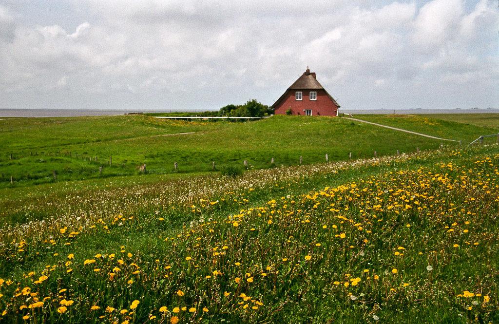 DE, DE-SH, NF, SH, buildings, clouds, color, colors, dandelion, deich, deutschland, dike, dyke, farbe, farben, gebäude, gelb, germany, green, gröde, grün, hallig, hallig gröde, halligen, haus, himmel, holm, house, houses, häuser, kirchwarft, knudswarft, löwenzahn, nordfriesland, north frisia, pflanzen, plants, reise, ringdeich, schleswig-holstein, sky, taraxacum, travel, wolken, world, yellow