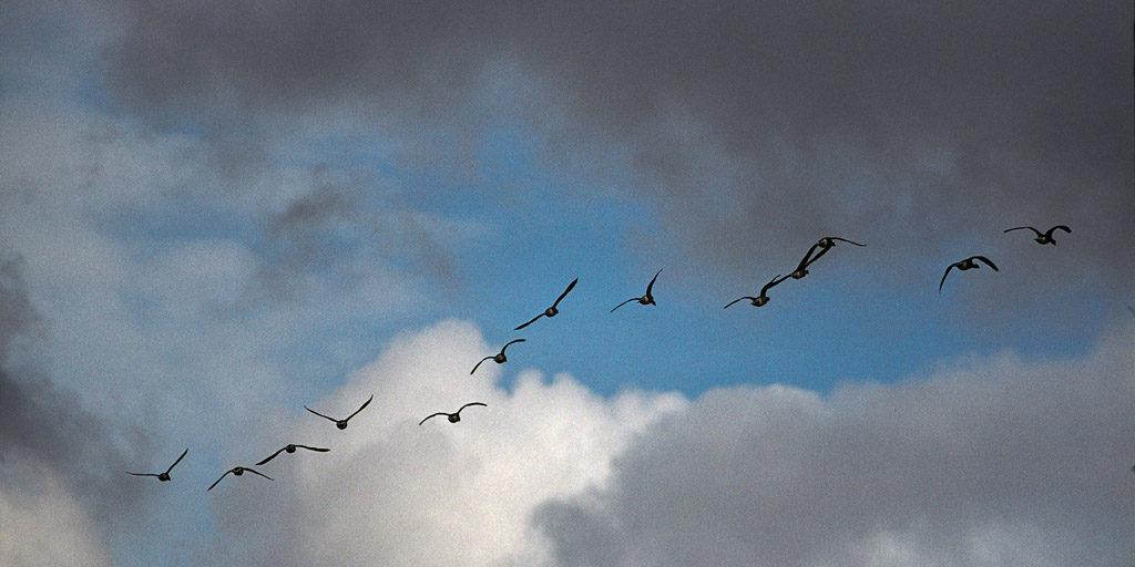 DE, DE-SH, NF, SH, animal, animals, bird, birds, brent geese, brent goose, clouds, deutschland, gans, geese, germany, goose, gröde, gänse, hallig, hallig gröde, halligen, himmel, holm, nordfriesland, north frisia, reise, ringelgans, ringelgänse, schleswig-holstein, sky, tier, tiere, travel, vogel, vögel, wolken, world