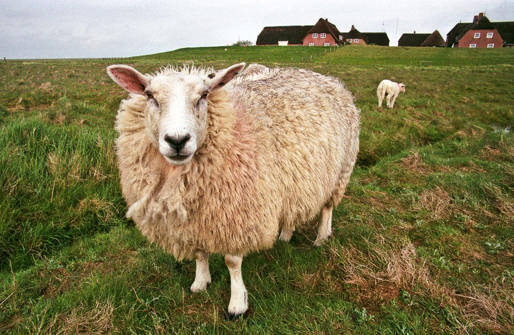 DE, DE-SH, NF, SH, animal, animals, deutschland, germany, gröde, hallig, hallig gröde, halligen, holm, knudswarft, nordfriesland, north frisia, reise, schaf, schafe, schleswig-holstein, sheep, tier, tiere, travel, world