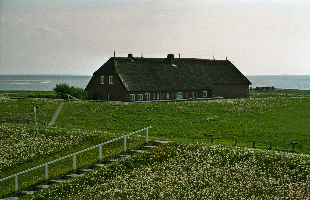 DE, DE-SH, NF, SH, dandelion, deich, deutschland, dike, dyke, germany, gröde, hallig, hallig gröde, halligen, holm, kirchwarft, löwenzahn, meer, nordfriesland, north frisia, pflanzen, plants, reise, ringdeich, schleswig-holstein, sea, seascape, see, taraxacum, travel, wasser, water, world