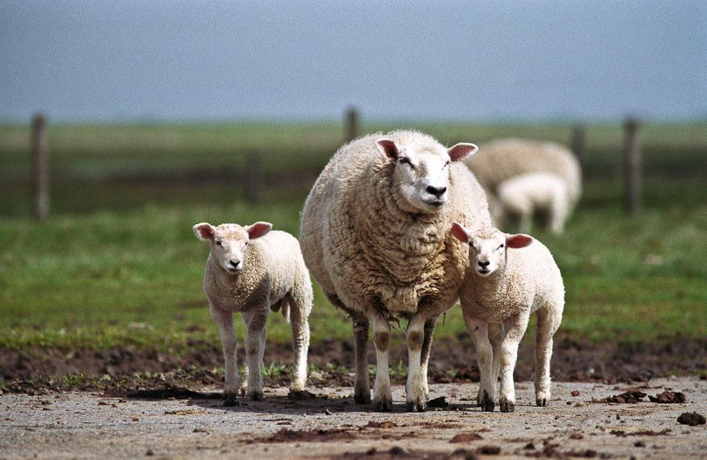 DE, DE-SH, NF, SH, animal, animals, deutschland, germany, gröde, hallig, hallig gröde, halligen, holm, nordfriesland, north frisia, reise, schaf, schafe, schleswig-holstein, sheep, tier, tiere, travel, world