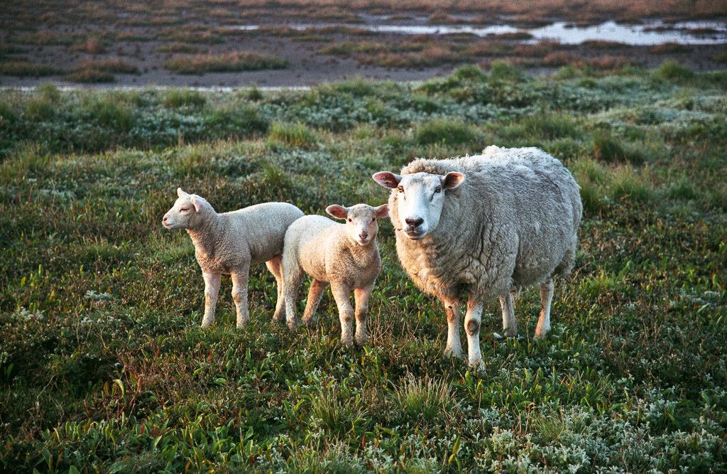 DE, DE-SH, NF, SH, animal, animals, deutschland, germany, gröde, hallig, hallig gröde, halligen, holm, nordfriesland, north frisia, reise, schaf, schafe, schleswig-holstein, sheep, sonne, sonnenaufgang, sun, sunrise, tier, tiere, travel, world