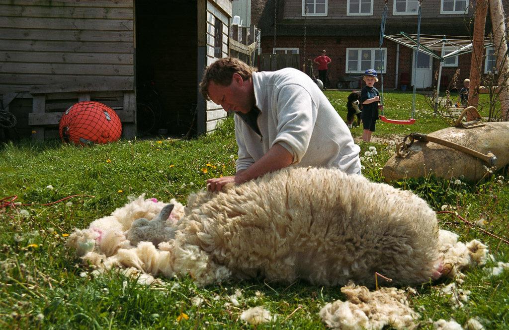 DE, DE-SH, NF, SH, animal, animals, büter, deutschland, familie, family, germany, gröde, gröde people, hallig, hallig gröde, halligen, holm, jenny, jenny büter, knudswarft, leute, menschen, nordfriesland, north frisia, people, reiner, reise, schaf, schafe, schafe scheren, scheren, schleswig-holstein, shearing, sheep, sheep-shearing, tier, tiere, travel, world
