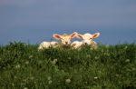 DE, DE-SH, NF, SH, animal, animals, deich, deutschland, dike, dyke, germany, gröde, hallig, hallig gröde, halligen, holm, lamb, lambs, lamm, lämmer, nordfriesland, north frisia, reise, ringdeich, schaf, schafe, schleswig-holstein, sheep, tier, tiere, travel, world