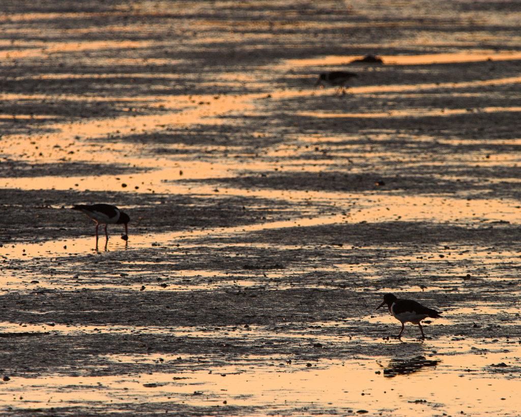 DE, DE-SH, NF, SH, animal, animals, austernfischer, bird, birds, deutschland, germany, gröde, hallig, hallig gröde, halligen, holm, jahreszeit, jahreszeiten, landscape, landschaft, meer, mudflat, natur, nature, nordfriesland, nordsee, north frisia, north sea, oystercatcher, reise, rural, schleswig-holstein, sea, seascape, season, seasons, see, sommer, sonne, sonnenaufgang, summer, sun, sunrise, tidal flat, tier, tiere, travel, vogel, vögel, wadden sea, wasser, water, watt, wattenmeer, world