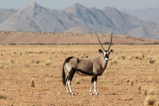 NA, animal, animals, antelope, antelopes, antilope, antilopen, by-jenny, c14, erongo, gemsbock, gemsbok, namibia, oryx, roads of namibia, spießbock, straßen in namibia, tier, tiere, world