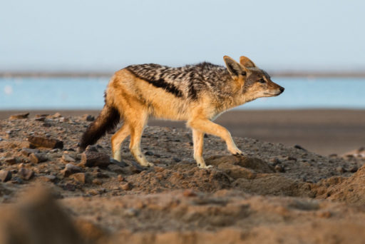 NA, animal, animals, black-backed jackal, by-jenny, canidae, erongo, hunde, jackal, jackals, lagoon, namibia, schabrackenschakal, schakal, schakale, tier, tiere, walfischbay, walvis bay, world