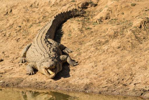 NA, animal, animals, by-jenny, crocodile, erindi, erindi private game reserve, erongo, krokodil, namibia, nile crocodile, nilkrokodil, old traders lodge, reptiles, reptilien, tier, tiere, watering hole, world