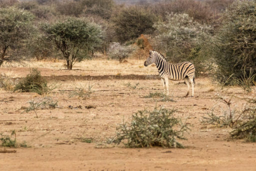 NA, animal, animals, by-jenny, equid, equidae, equids, erindi, erindi private game reserve, erongo, namibia, old traders lodge, tier, tiere, watering hole, world, zebra, zebras
