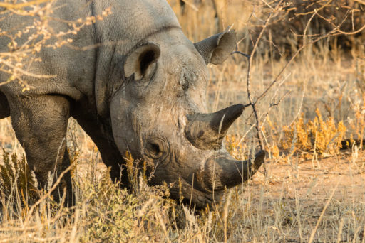 NA, animal, animals, black rhino, black rhinoceros, by-jenny, erindi, erindi private game reserve, erongo, namibia, nashorn, nashörner, rhino, rhinoceros, rhinos, spitzmaulnashorn, tier, tiere, world