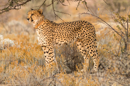 NA, animal, animals, by-jenny, cheetah, erindi, erindi private game reserve, erongo, felidae, gepard, katzen, namibia, tier, tiere, world