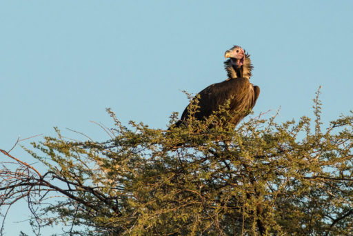 L-std-3:2-height, NA, animal, animals, bird, birds, by-jenny, erindi, erindi private game reserve, erongo, geier, lappet-faced vulture, namibia, ohrengeier, tier, tiere, vogel, vulture, vultures, vögel, world