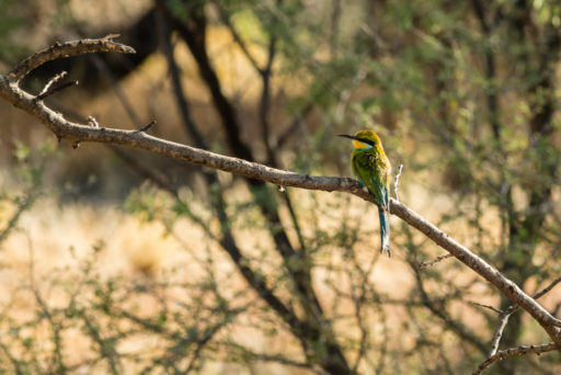 L-std-3:2-height, NA, animal, animals, bee-eater, bienenfresser, bird, birds, by-jenny, erindi, erindi private game reserve, erongo, namibia, schwalbenschwanzspint, swallow-tailed bee-eater, tier, tiere, vogel, vögel, world