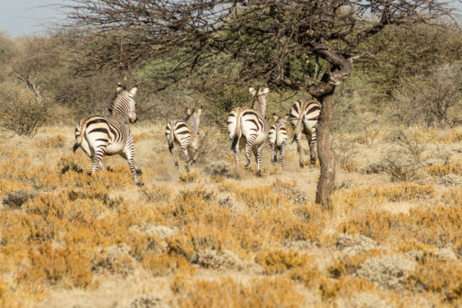 L-std-3:2-height, NA, animal, animals, by-jenny, equid, equidae, equids, erindi, erindi private game reserve, erongo, namibia, tier, tiere, world, zebra, zebras