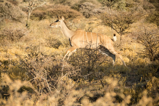 NA, animal, animals, antelope, antelopes, antilope, antilopen, by-jenny, greater kudu, großer kudu, kudu, mount etjo safari lodge, namibia, otjozondjupa, strepsiceros, tier, tiere, world