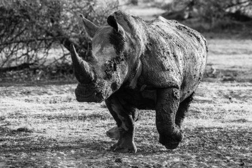 NA, animal, animals, breitmaulnashorn, by-jenny, mount etjo safari lodge, namibia, nashorn, nashörner, otjozondjupa, rhino, rhinoceros, rhinos, tier, tiere, white rhino, white rhinoceros, world