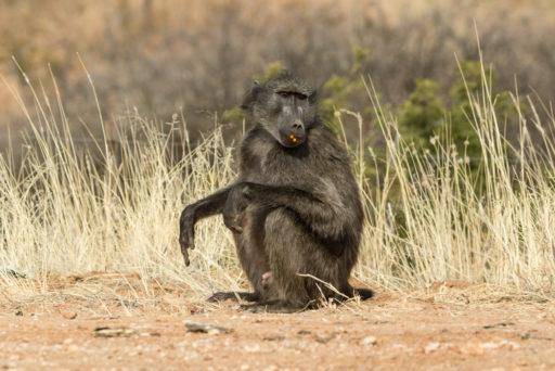 NA, animal, animals, baboon, by-jenny, c26, khomas, namibia, pavian, primate, primaten, primates, roads of namibia, straßen in namibia, tier, tiere, world