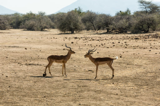 L-std-3:2-height, NA, animal, animals, antelope, antelopes, antilope, antilopen, erindi, erindi private game reserve, erongo, impala, namibia, tier, tiere, world