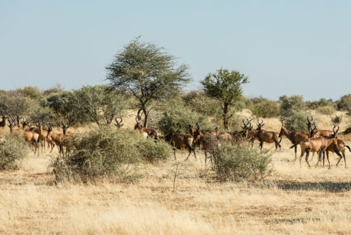 L-std-3:2-height, NA, alcelaphus, animal, animals, antelope, antelopes, antilope, antilopen, erindi, erindi private game reserve, erongo, hartebeest, kuhantilope, namibia, tier, tiere, world