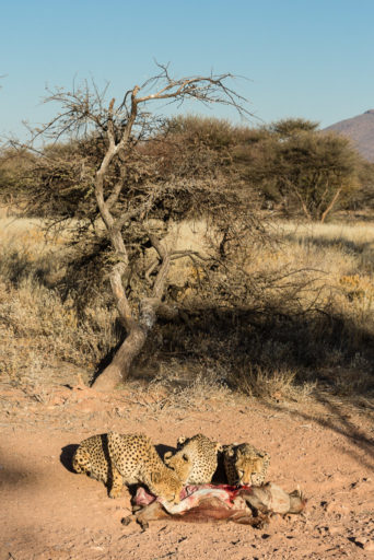 NA, animal, animals, cheetah, felidae, gepard, katzen, mount etjo safari lodge, namibia, otjozondjupa, tier, tiere, world