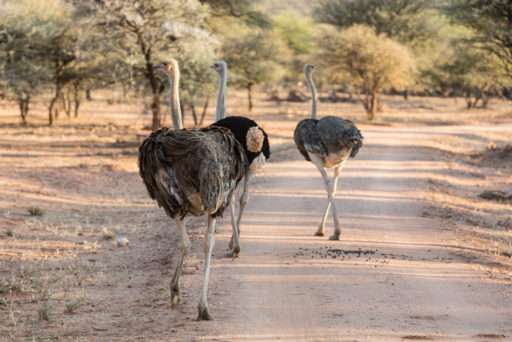 NA, afrikanischer strauß, animal, animals, bird, birds, common ostrich, mount etjo safari lodge, namibia, ostrich, otjozondjupa, strauß, tier, tiere, vogel, vögel, world