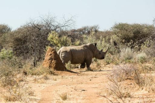 NA, animal, animals, breitmaulnashorn, mount etjo safari lodge, namibia, nashorn, nashörner, otjozondjupa, rhino, rhinoceros, rhinos, tier, tiere, white rhino, white rhinoceros, world