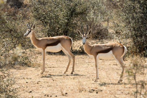 L-std-3:2-height, NA, animal, animals, antelope, antelopes, antilope, antilopen, mount etjo safari lodge, namibia, otjozondjupa, springbock, tier, tiere, world