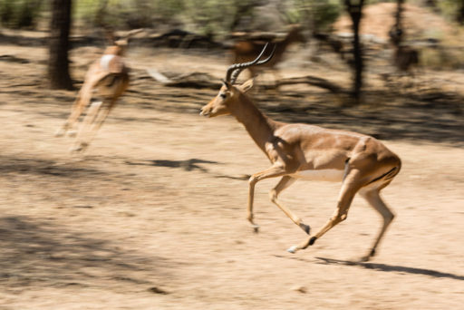 L-std-3:2-height, NA, animal, animals, antelope, antelopes, antilope, antilopen, impala, mount etjo safari lodge, namibia, otjozondjupa, tier, tiere, world