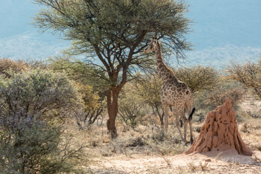 NA, animal, animals, even-toed ungulate, giraffe, mount etjo safari lodge, namibia, otjozondjupa, paarhufer, tier, tiere, world