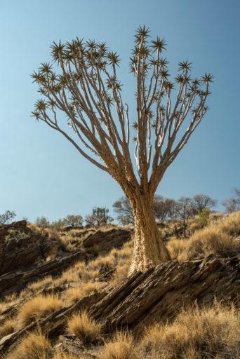 NA, aloe dichotoma, baum, bäume, hakos, hakos guest farm, hakosberge, khomas, kokerboom, köcherbaum, köcherbaumwald, namibia, pflanzen, plants, quiver tree, tree, trees, world
